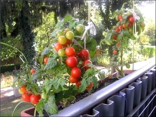 Сорта помидоров для выращивания на балконе.